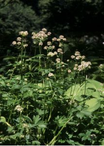 Astrantia major L. attēls