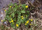 caltha-palustris-l