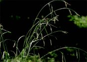 carex-sylvatica-huds-B