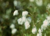 eriophorum-polystachion-l-B