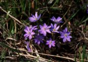 hepatica-nobilis-mill