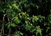 lonicera-xylosteum-l-B