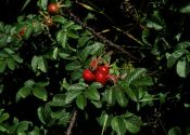 rosa-rugosa-thunb