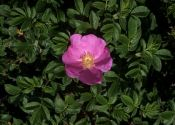 rosa-rugosa-thunb-B