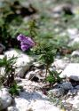 scutellaria-hastifolia-l-B