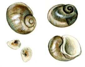 Lithoglyphus naticoides C.Pfeiffer attēls