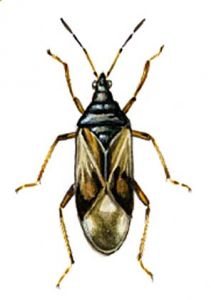 Anthocoris nemorum L. attēls