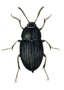 Catops chrysomeloides (Panz.) attēls