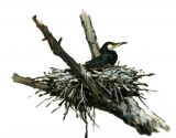 phalacrocorax-carbo-l-3