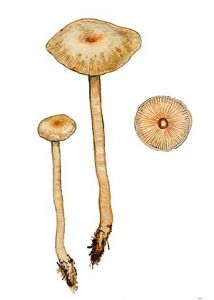 Clitocybe fragrans (With.: Fr.) P. Kumm. attēls