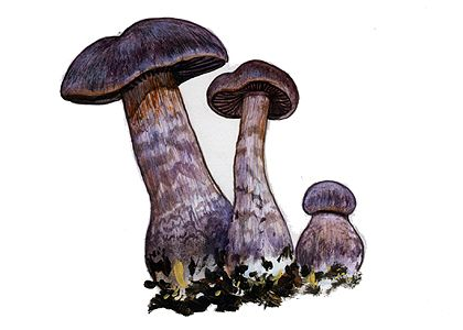 Cortinarius hercynicus (Pers.) M. M. Moser attēls