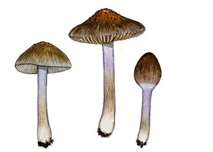 Inocybe obscuroides Orton attēls