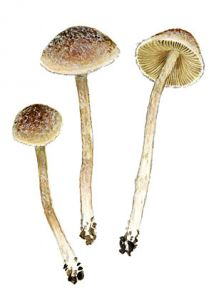 Psathyrella canoceps (Kauffm.) A. H. Smith attēls