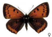 Lycaena dispar (Haworth, 1802) attēls