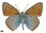 lycaena-dispar-haworth-1802-B
