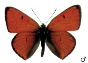 lycaena-dispar-haworth-1802-C