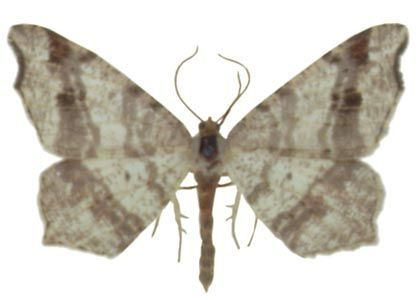 Macaria alternata (Denis & Schiffermüller, 1775) attēls